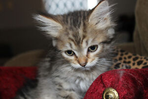 Registered Siberian Forest Cat Kitten - Male