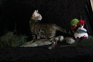 Beautiful Male Bengal kittens for sale