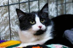 AK2806 : Chance - CAT for ADOPTION - Vet Work Included