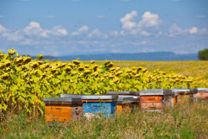 Honey Bee Nucs for Sale from Small Hobby Farm