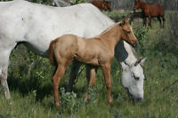 2015 AQHA  foals for sale