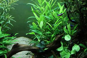 5 X Live Aquarium Aquatic Plants BUNCHED HYGROPHILA Corymbosa