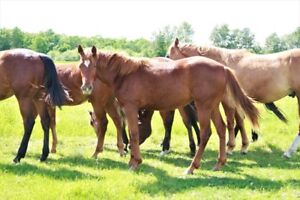 2017 APHA filly --> cow / reining bred
