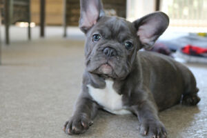 Beautiful blue and black French bulldog puppies  sale