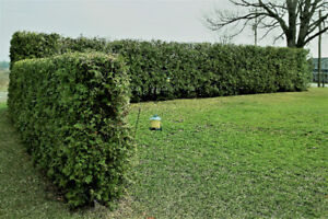 WHITE CEDAR HEDGE TREES FOR SALE