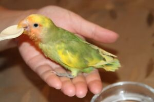 Lovely, super tame green and yellow pied baby lovebird!