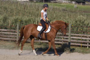 2002 Canadian Warmblood Mare For Sale
