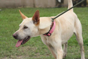LACI 2yrs old F lab/shep mix Texas Rescue for adoption