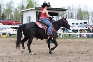 Well Trained Quarter Horse Mare