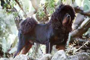 9 Tibetan Mastiff puppies are available...