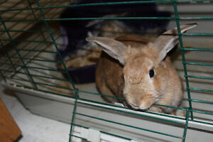Female 2 year old mini lop bunny