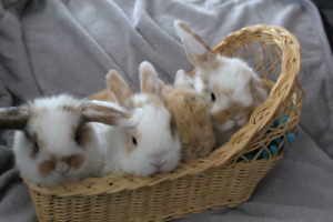 Purebred Adorable Holland Lop Bunnies!