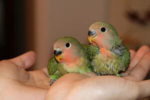 Adorable, hand-fed bright green baby lovebird!