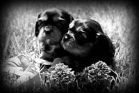 cavalier king Charles spaniel pups!! only 2 left