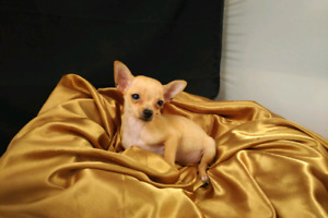 CHIHUAHUA PUPPIES,  TEACUPS READY NOW GREAT PRICE