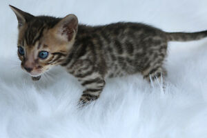 "Bengal cat, kitten for sale "" red "" boy"
