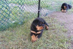 Rottweiler Love - Puppies ready for 4-ever homes
