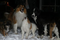 Purebred Rough Sable Collie X Pyrenees/Collie Puppies For Sale