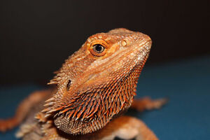 Bearded Dragon Babies due May!