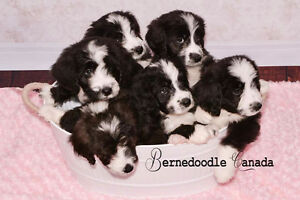 BERNEDOODLE New Waiting List
