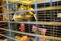 2 canaries singing with a large cage