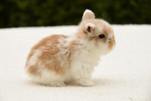 Adorable Pure bred Holland Lop babies for sale