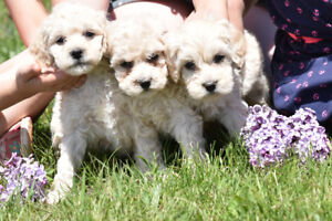 Female Cockapoo puppy (sold) taking reservations for next litter