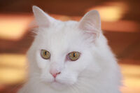 Lost Cat-full white- about 6 years old- REWARD- lost november 10