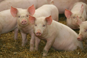 Looking for 2-3 weaner pigs, meat pigs