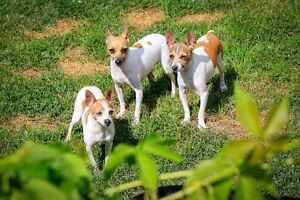 Toy rat Terriers for sale   (Male Sold)))