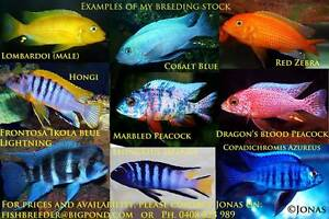 African Cichlids........10 breeding or display colonies! Ormeau Gold Coast North Preview