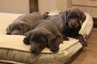 Charcoal Silver Champange Labrador Retriever Puppies Shots Happy
