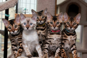 Looking for 2 Bengal Kittens for Christmas