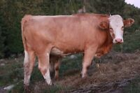 Vache/Genisse/Heifers for Sale Simmental or Simmental/Limo