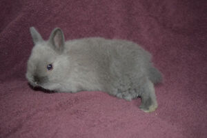 Beautiful (baby) bunnies for sale