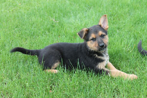 3 Beautiful German Shepherd Pups - Available now