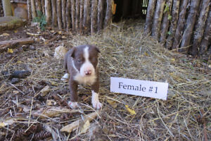 8 Red Border Collie Puppies