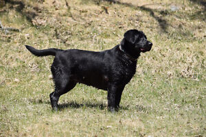 Want to purchase CKC Registered lab female