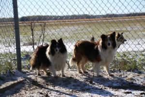 We are selling our Shelties