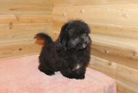 Adorable Shih-Poo Puppy