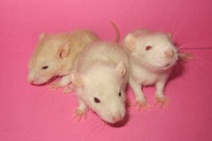 Baby Rats - Ready for New Homes!
