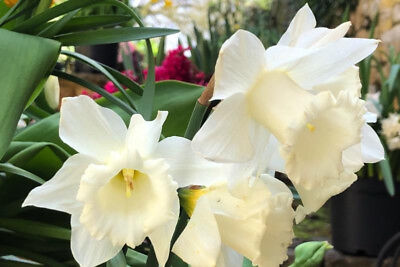 5 Bulbs, Size 12/14 of Daffodil Mount Hood Landscaper Special, Trumpet Narcissus for sale  Elmhurst