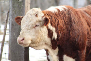 Registered Hereford bull for sale