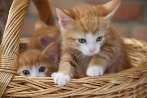 Orange and one black kittens $25 for one