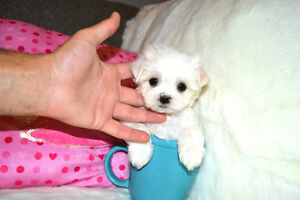 TEACUP MALTESE WANTED ASAP