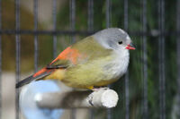 Looking for yellow-bellied waxbill/Astrild à ventre jaune