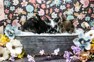 Purebred Show Quality Holland Lop Bunnies Up For Adoption!!!!
