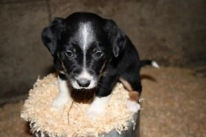 Puppies for sale (livestock workers)