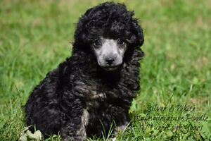 Stunning miniature poodle male