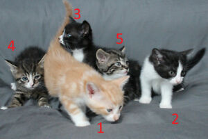 Kittens with shots/deworming and papers